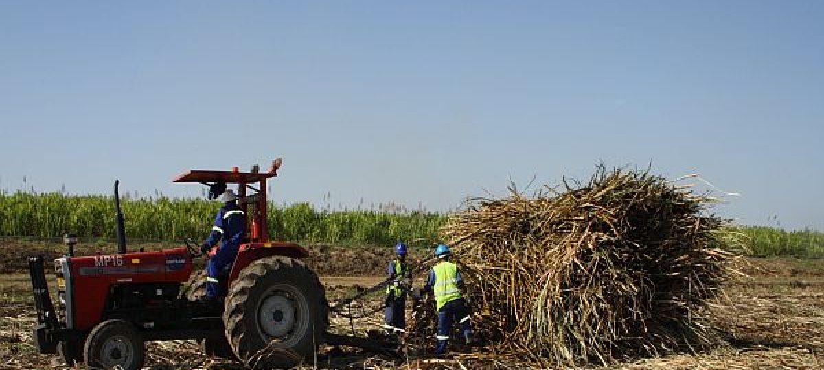 Cane harvesting Malawi