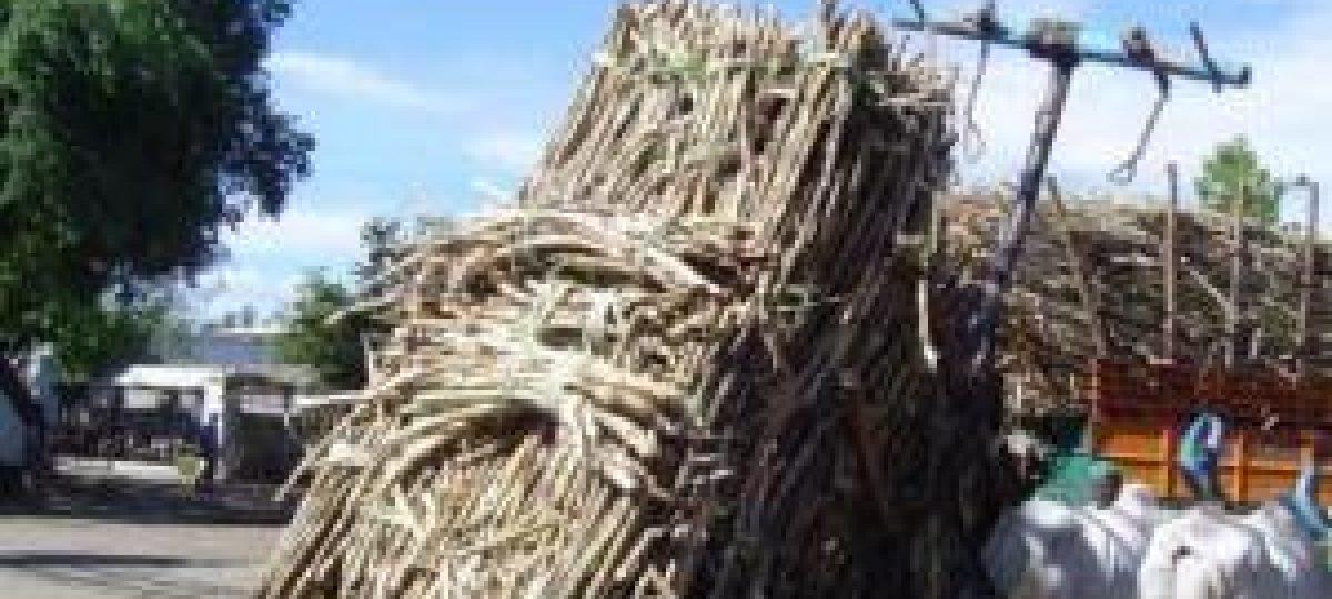 Suikerriet oogst in India