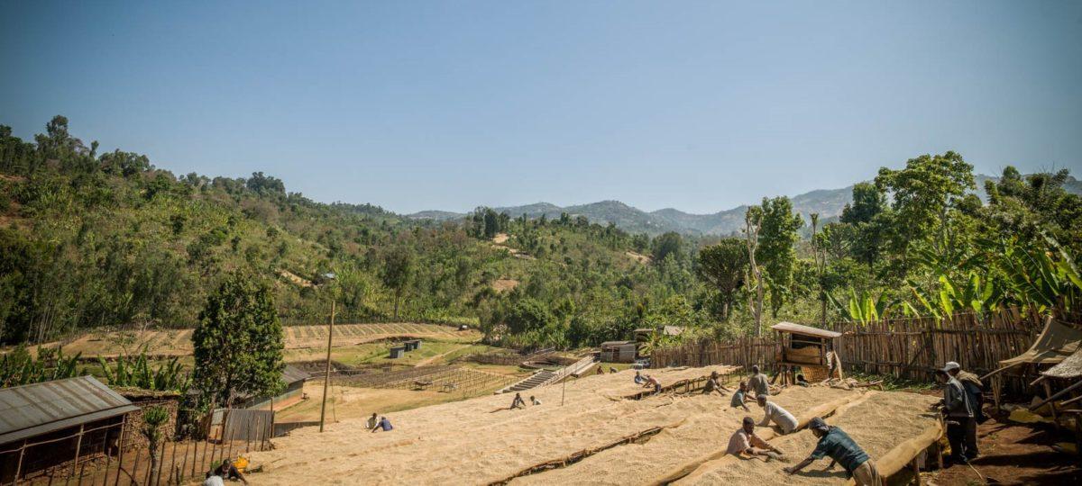 koffie boeren aan het werk in het veld