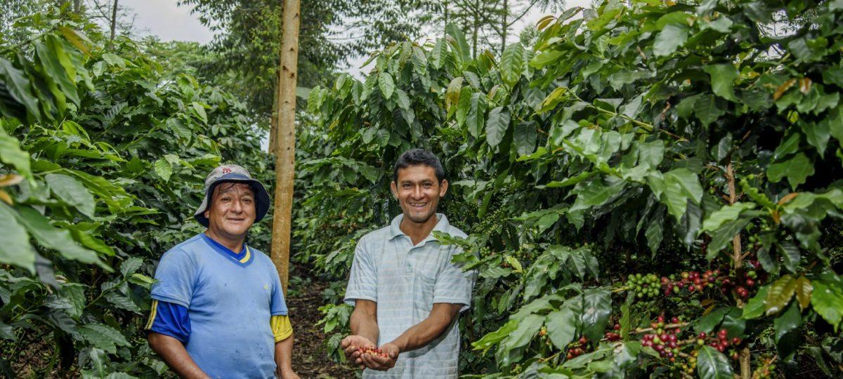koffie boeren in het veld bij koffiebonen Peru