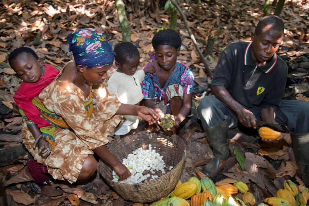 boerengezin in West-Afrika cacao aan het oogsten