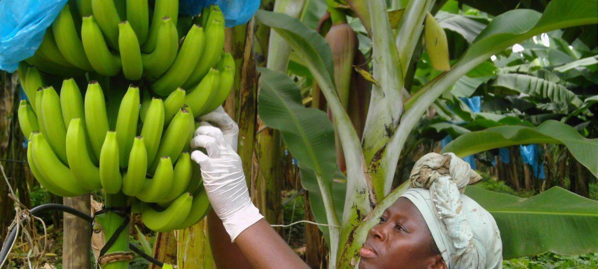 vrouw aan het werk op bananenplantage